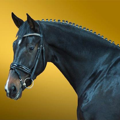 St Louis Blues - Oldenburg stallion by Sezuan standing at Woodlander