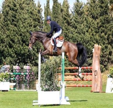 6+yo+dark+bay+gelding%3A+Winner+of+International+Young+Horse+Classes