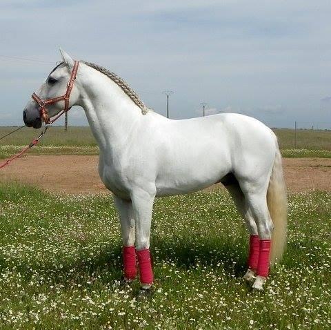 Stunning Lusitano stallion - dressage school master at PSG/Inter 1
